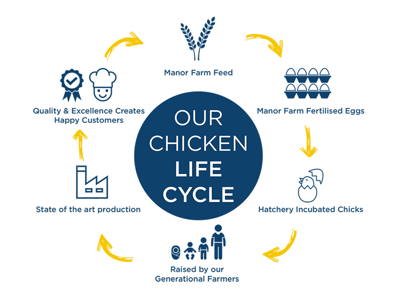 Chicken lifecycle infographic | the lifecycle of chicken